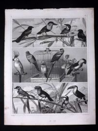 Heck 1849 Antique Bird Print. Parrots, Cockatoo, Toucan